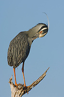 Yellow-crowned Night-Heron, Nyctanassa violacea, adult preening, Willacy County, Rio Grande Valley, Texas, USA