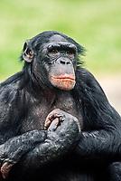 Bonobo (Pan paniscus), native to Africa, captive, Germany, Europe