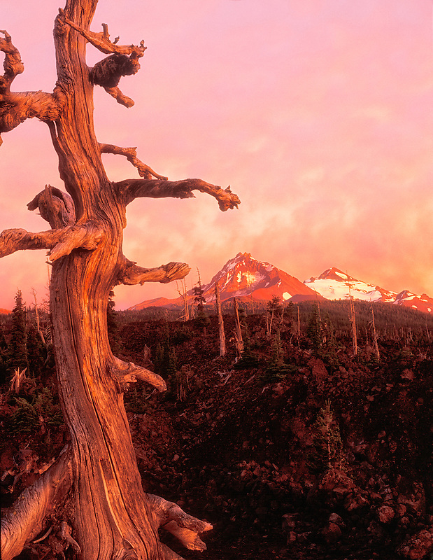 North and Middle Sister Mountains with sunset and weathered tree. McKenzie Pass, Oregon