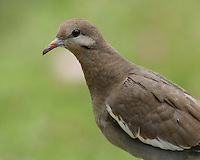 White-winged Dove in spring, with pink color from wild primrose.