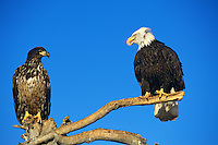 Bald Eagles--adult with immature--on perch.  Alaska.