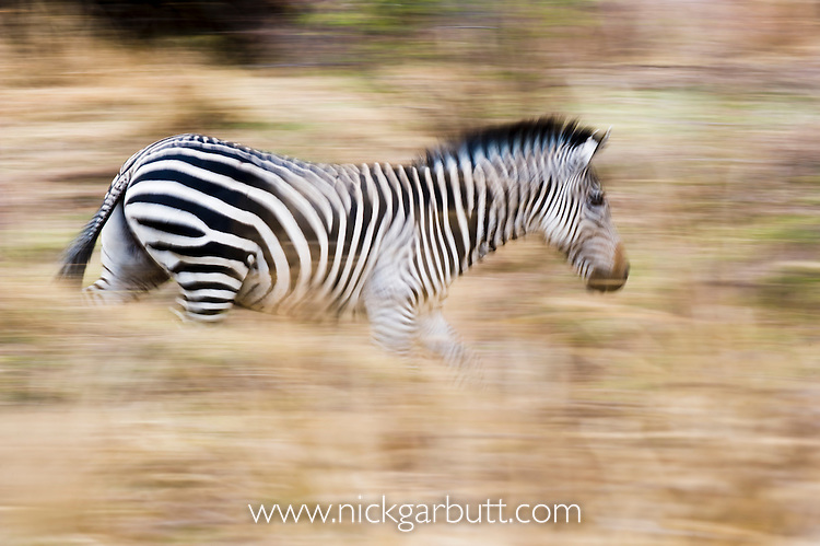 Crawshay's Zebra (Equus quagga crawshayi) -subspecies of Plains Zebra. Banks of the Luangwa River. South Luangwa National Park, Zambia.
