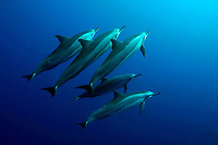 Extremely social, spinner dolphin [Stenella longirostris] are found in large groups sometimes numbering in the thousands.  Hawaii. pacific ocean endangered protected underwater Cetacea Odontoceti Delphinidae mammal counter shading shade resting rest group