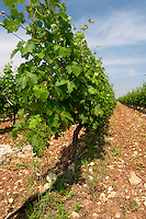 Vines. Biblia Chora Winery, Kokkinohori, Kavala, Macedonia, Greece