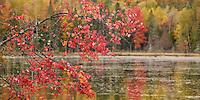 Maple tree at peak color