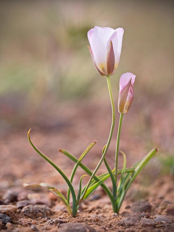 Two sego lilies (Calochortus nuttallii) near the Barnhardt Trail, Arizona, USA