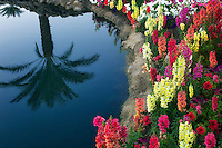 Garden flowers with palm tree reflection. Palm Desert, California
