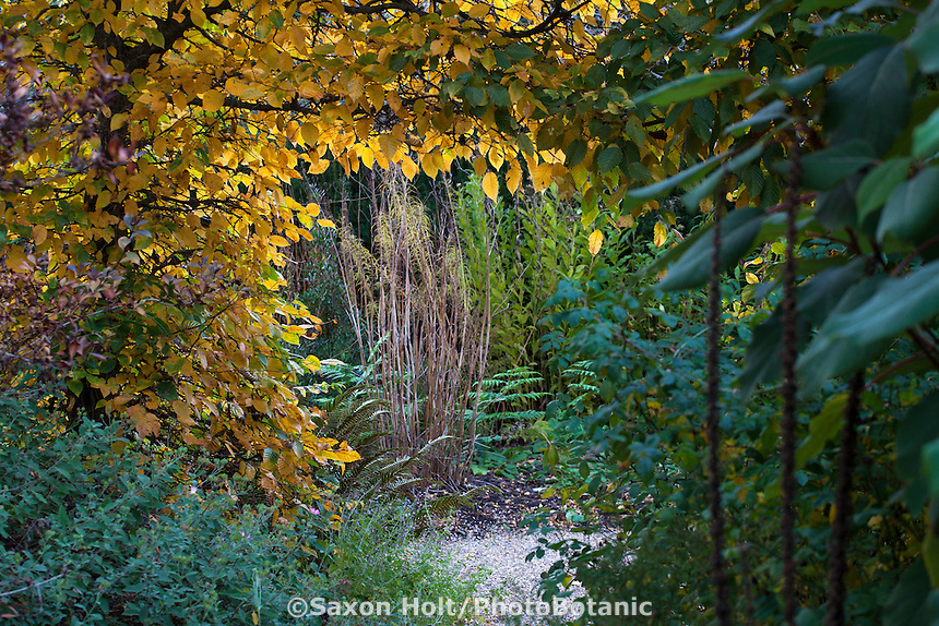 Thalictrum 'Elin' old flower stalks seen though window in Hornbeam hedge (Carpinus betulus