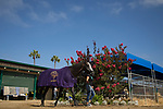 DEL MAR,CA-AUGUST 18: Arrogate walks around the barn at Del Mar Race Track on August 18,2017 in Del Mar,California (Photo by Kaz Ishida/Eclipse Sportswire/Getty Images)