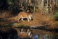 Florida Panther (Puma concolor coryi) walking by pond in pine forest, Florida.  Endangered species.