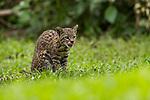 Geoffroy's Cat (Leopardus geoffroyi), habituated female licking chops, Ibera Provincial Reserve, Ibera Wetlands, Argentina