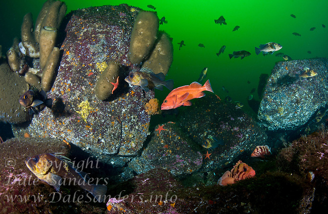 Various species of Rockfish, including Yellow Eye ( Sebastes ruberrimus), Tiger ( Sebastes nigrocinctus) and Quillback ( sebastes maliger) congragate around Boot Sponges in Jervis Inlet, British Columbia, Canada.