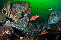 Various species of Rockfish, including Yellow Eye ( Sebastes ruberrimus), Tiger ( Sebastes nigrocinctus) and Quillback ( sebastes maliger) congragate around Boot Sponges in Jervis Inlet, British Columbia, Canada.