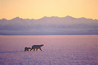 polar bear, Ursus maritimus, mother & cub, Arctic National Wildlife Refuge, North Slope of Alaska, polar bear, Ursus maritimus