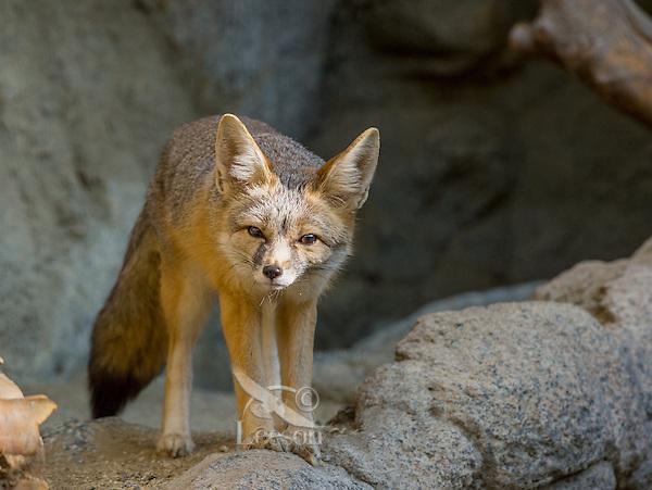 Kit fox (Vulpes macrotis).  Small desert fox found primarily in the American desert southwest.  Sonoran Desert, CA.