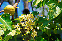Kukuinut-tree with blossom and nut