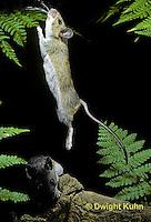 MU51-005z  Deer Mouse - young adult jumping - Peromyscus maniculatus