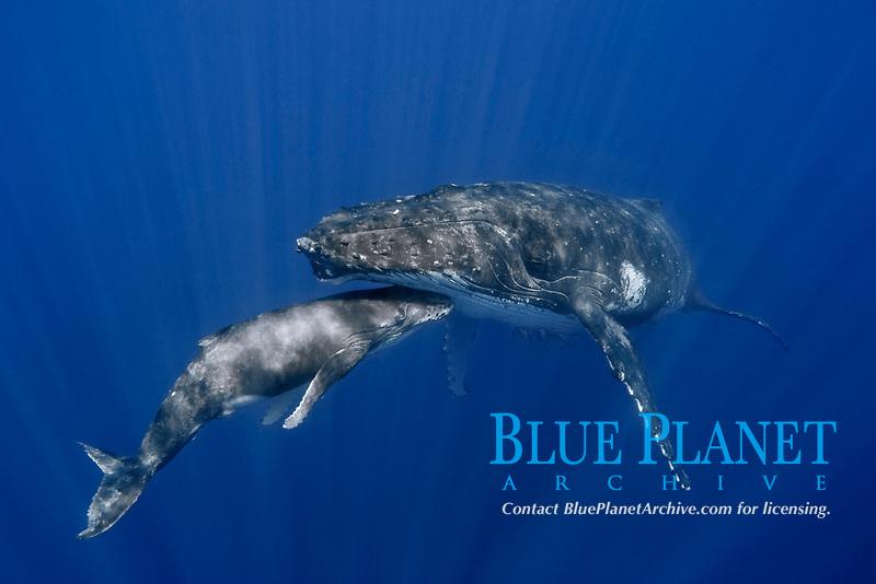humpback whale, Megaptera novaeangliae, mother and calf, Vava'u, Kingdom of Tonga, South Pacific Ocean