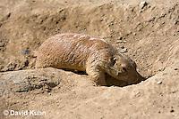0601-1007  Black-tailed Prairie Dog Entering Burrow Hole, Cynomys ludovicianus  © David Kuhn/Dwight Kuhn Photography