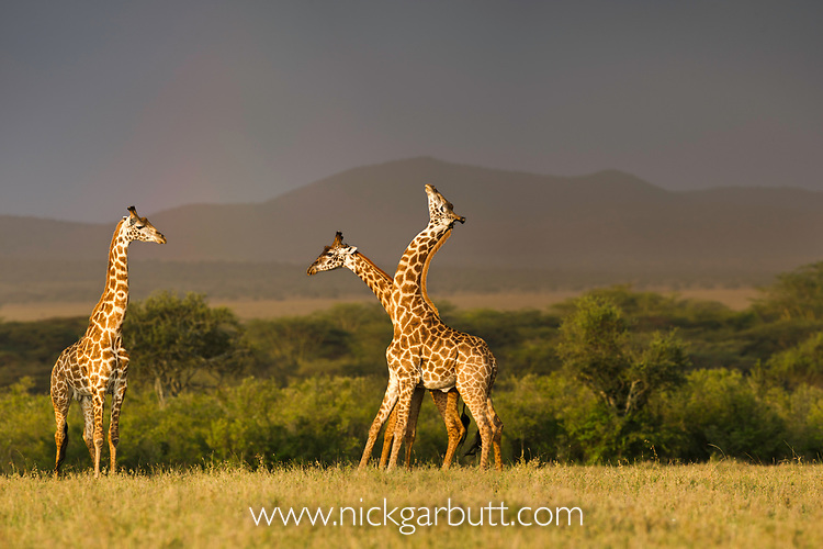 Male Masai giraffes (Giraffa camelopardalis) displaying / combat with one another in sunset light, with brooding storm behind. Ol Kinyei Conservancy, Masai Mara Game Reserve, Kenya.