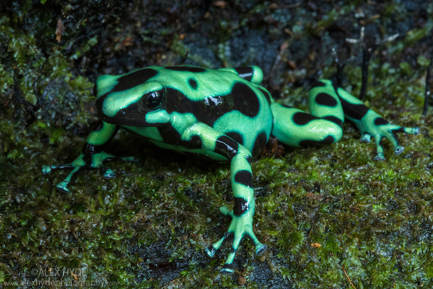 Green and Black Poison Frog {Dendrobates auratus} Central Caribbean foothills, Costa Rica. May.