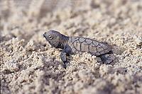 Hawksbill turtle hatchling<br /> St. Croix<br /> U.S. Virgin Islands