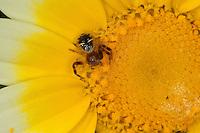 Südliche Glanz-Krabbenspinne, Südliche Glanzkrabbenspinne, Krabbenspinne lauert auf Blüte auf Beute, red crab spider, Synema globosum, Synaema globosum, Krabbenspinnen, Thomisidae, crab spiders
