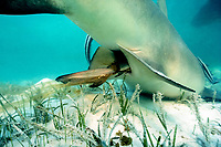 live birth of lemon shark, Negaprion brevirostris, pup emerges tail first, wrapped in chorionic membranes; Bimini, Bahamas, Atlantic Ocean