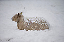29/01/15<br /> <br /> A sheep covered in snow at Parsley Hay, near Hartington in the Derbyshire Peak District.<br /> <br /> All Rights Reserved - F Stop Press.  www.fstoppress.com. Tel: +44 (0)1335 418629 +44(0)7765 242650