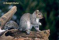 MA23-066z  Gray Squirrel - looking around for danger - Sciurus carolinensis.