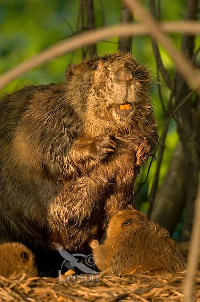 Beaver nursing young kit.  Southern U.S.