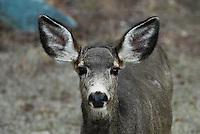 Portrait of a mule deer.
