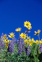 Balsamroot & desert lupine. Canyon Country. Central WA State.