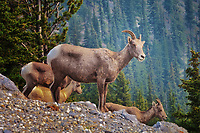 Bighorn Sheep at the top of Sulphur Mountain in Banff in the midst of the BC forest fire smoke.