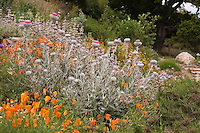 Silver gray foliage of Cobweb Thistle, Cirsium occidentale in garden with California poppies in native plants, Torgovitsky