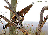 0405-1207  Harris's Hawk in Flight, Harris Hawk (Bay-winged Hawk or Dusky Hawk), Parabuteo unicinctus  © David Kuhn/Dwight Kuhn Photography