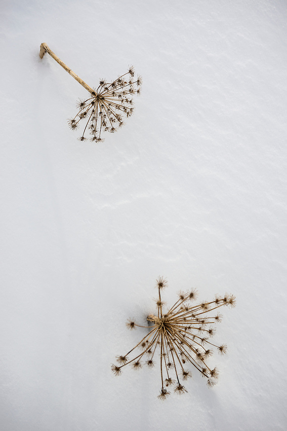 Cow parsnip flower stalks poke above the surface after a heavy March snowfall in the Chugach Mountains of Alaska.