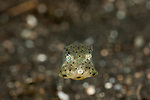 Yellow boxfish juvenile (Ostracion cubicus)