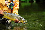 Fishing Creek Brown Trout ready for release
