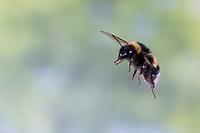 Erdhummel im Flug, fliegend, Insektenflug, Bombus spec., Bombus, Bombus terrestris-aggr., Bombus terrestris s. lat., bumble bee, flight, flying
