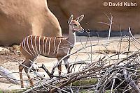 0529-1103  Lesser Kudu, Tragelaphus imberbis  © David Kuhn/Dwight Kuhn Photography