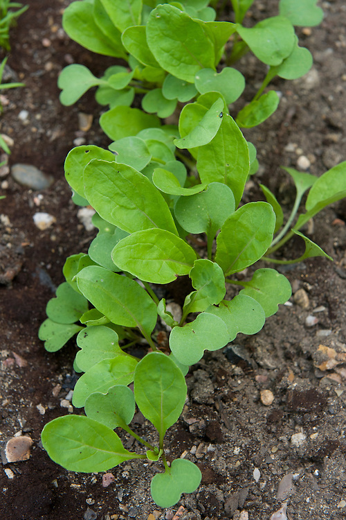 Salad rocket seedlings, mid June. Seeds sown just 2 weeks earlier.