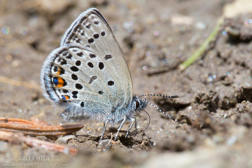 Cranberry Blue (Plebejus optilete) 'mud-puddling' to extact scarce minerals such as sodium. Nordtirol, Austrian Alps, Austria, July.