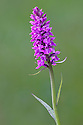 Broad-Leaved Marsh orchid {Dactylorhiza majalis} in flower. Nordtirol, Tirol, Austrian Alps, Austria, 1700 metres altitude, July.