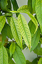 A peach showing signs of iron or managanese deficiency - the leaves turn yellow in between green veins. Also called lime-induced chlorosis, it is common in alkaline soils with a high pH.