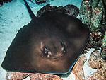Southern stingray swimming towards camera