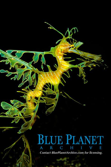 Leafy sea dragon, Phycodurus eques, captive