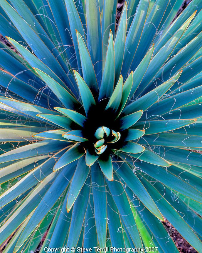 Yucca plant (Yucca filamentosa) in Portland, Oregon