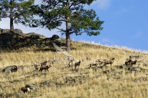 Rocky Mountain Bighorn Sheep or Mountain Sheep (Ovis canadensis).  Western U.S., fall.