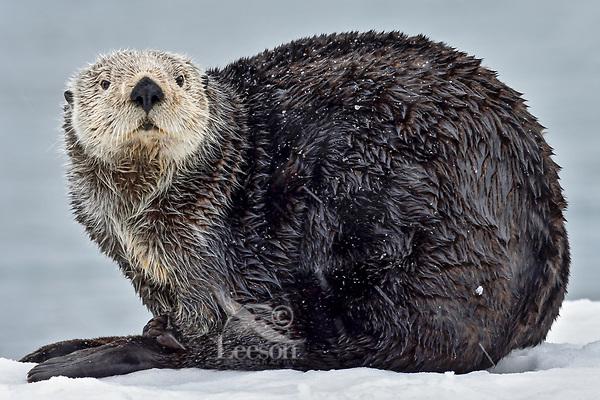 Adult Sea Otter (Enhydra lutris) on old, snow covered  boat dock,  Prince William Sound, Alaska.